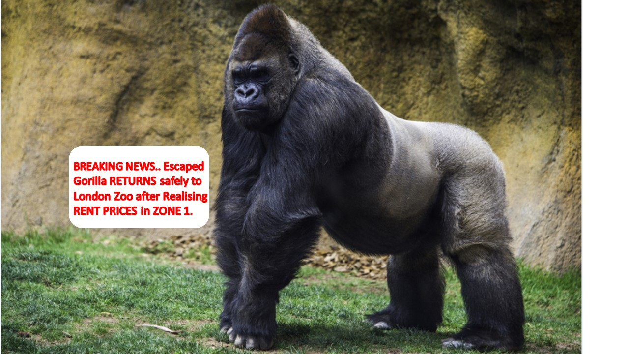 Zone 1 Rents and Gorillas return to London Zoo!
